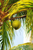 Coconuts on palm tree Stock Photo