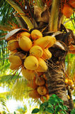 Coconuts on palm tree Stock Photos