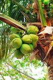 Coconuts on palm tree Royalty Free Stock Images