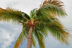 Coconuts on palm tree Stock Images
