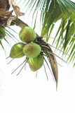 Coconuts On The Palm Tree. In thailand Stock Photos