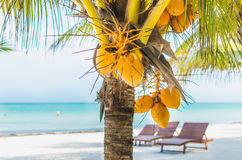 Coconuts on palm tree against tropical sand beach Royalty Free Stock Image