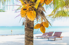 Coconuts on palm tree against tropical sand beach Stock Photo