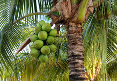 Coconuts on palm tree. In tropics Royalty Free Stock Photography