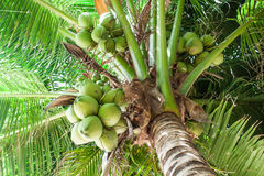 Coconuts palm tree Stock Photos