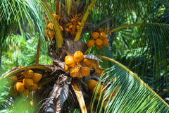 Coconuts on the palm tree Royalty Free Stock Photography