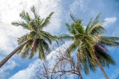 Coconuts palm trees. Coconut palm trees against blue sky and white clouds in rainy season Stock Photos