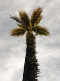 Coconuts palm trees. Coconut palm trees on sky background Stock Photo