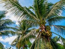 Coconuts on palm trees stock photography