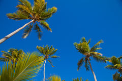 Coconuts palm trees perspective view from floor high up Royalty Free Stock Photography