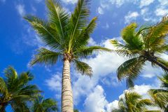 Coconuts palm trees on the tropical beach. Of Mexico Stock Photo