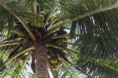 Coconuts on a palm Royalty Free Stock Image