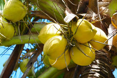 Coconuts on palmtree. Close-up of yellow coconuts ripening on palmtree stock photo