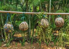 Coconuts on a plantation. Decoration Stock Photography