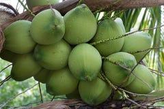 Coconuts on Rain Season Royalty Free Stock Images