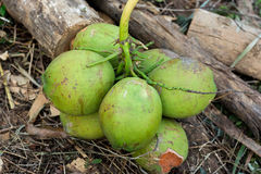 Coconuts. In rainforest in Thailand Royalty Free Stock Photos