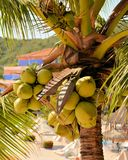 Coconuts on a resort in Mexico Royalty Free Stock Images