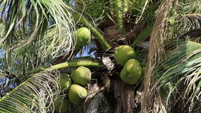 Coconuts ripen on the palm stock video