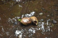 Coconuts sitting in a shallow pool with rocks and mud surrounding royalty free stock photos