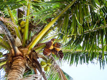 Coconuts and sky Royalty Free Stock Images