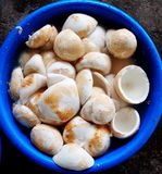 Coconuts. Stack of white raw young fresh coconut un-shelled store in a large blue plastic container laying on the floor prepared as raw materials for home food Stock Images