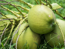 Coconuts. Thai coconuts is sweet drink Royalty Free Stock Image
