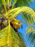 Coconuts in a Tree. Coconuts and palm fronds of a tree in Mexico Stock Photo