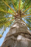 Coconuts Tree. Bottom to top coconut tree on a sunny day with blue sky in Club Faru Resort Maldives Royalty Free Stock Photo