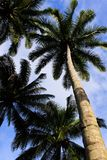 Coconuts tree Stock Photo
