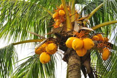 Coconuts at a tree. Bunches of coconuts at coconut tree Stock Image