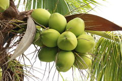 Coconuts on tree. Clusters of freen coconuts close-up hanging on palm tree Royalty Free Stock Images