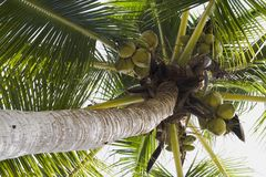 Coconuts and Tree Royalty Free Stock Photos