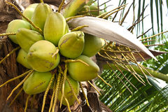 Coconuts on tree. The fresh coconuts on tree in the garden royalty free stock photos