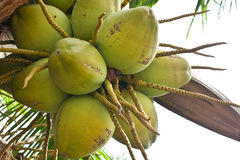 Coconuts on tree Stock Photos