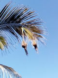 A coconuts tree Bird home Stock Photo
