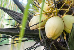 Coconuts on Tree Close up. Close up of coconuts still in their bunch on the coconut palm tree Royalty Free Stock Images