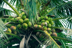 Coconuts on the tree. Coconuts cluster on the tree Royalty Free Stock Images