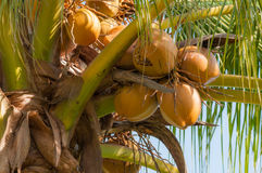 Coconuts on the tree. Coconuts cluster on the tree Stock Photos
