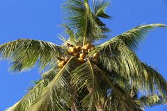 Coconuts in the tree. Coconuts in the palm tree on Palawan Island, Philippines Stock Photo