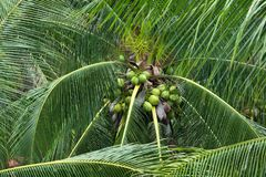 Coconuts on the tree. Coconuts on the tree in the garden Stock Photos