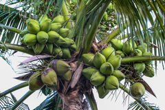 Coconuts in the tree. Green Coconuts in the tree Royalty Free Stock Photos