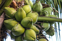 Coconuts in the tree. Green Coconuts in the tree Stock Photos