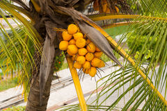 Coconuts on tree. Group of coconuts on tree Stock Image