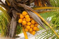 Coconuts on tree Royalty Free Stock Photos