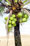 Coconuts on tree Stock Image