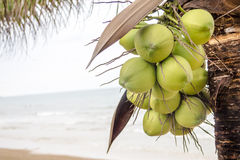 Coconuts on tree Stock Photography