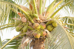 Coconuts on a tree Royalty Free Stock Images