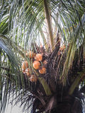 Coconuts tree at Ometepe Island. Royalty Free Stock Images
