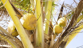 Coconuts on Tree. Coconuts on a Palm Tree Royalty Free Stock Image