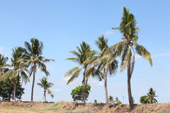 Coconuts tree on the ridge over blue sky Royalty Free Stock Photography